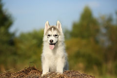 Samoyed. a little fluffy puppy. Royalty Free Stock Image