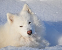 Samoyed lying in the snow. Closeup head shot of a Samoyed in the snow Stock Photography