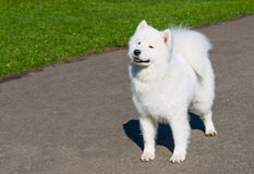 Samoyed mit Grinsen Stockfotos