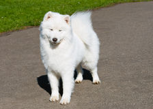 Samoyed modesty. The Samoyed stands in the city park Royalty Free Stock Images