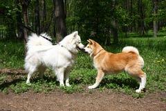 Samoyed och Akita Fotografering för Bildbyråer