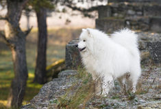 Samoyed in the  old town Royalty Free Stock Images