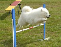 Samoyed pies Obrazy Stock