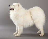 Samoyed pies Zdjęcia Stock