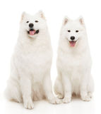 Samoyed pies Obrazy Royalty Free