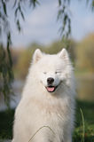 Samoyed pies Obraz Royalty Free