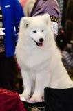 Samoyed pies Zdjęcia Royalty Free