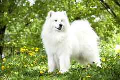 Samoyed pies Obraz Stock