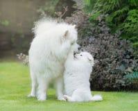 Samoyed pies Psia matka z szczeniaka bawić się Zdjęcie Royalty Free
