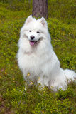 Samoyed pies w drewnie Obrazy Royalty Free