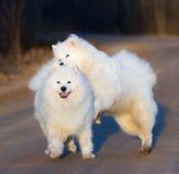 Samoyed pies z szczeniakiem bawić się na piaskowatej drodze przy zmierzchem Zdjęcia Stock