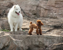 Samoyed and poodle Royalty Free Stock Image
