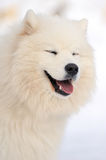 Samoyed portrait Stock Photo