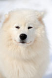 Samoyed portrait Stock Photos