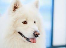 samoyed psi biel Obrazy Royalty Free