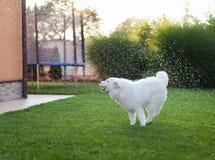Samoyed psi plenerowy Zdjęcia Royalty Free