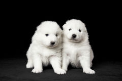 Samoyed puppies. Adorable pair of Samoyed puppies on black background Stock Photo
