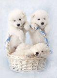 Samoyed puppies with basket Stock Images