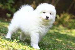 Samoyed Puppies Royalty Free Stock Photo