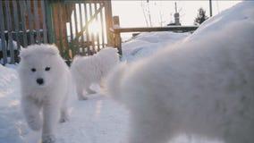 Samoyed puppies run together