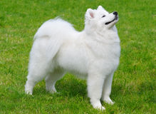 Samoyed puppy. Samoyed dog - puppy in field Stock Images