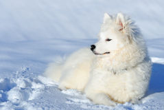 Samoyed puppy. Couch in snow Stock Photography