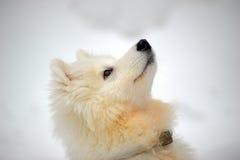 Samoyed puppy Stock Photography