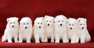 Samoyed puppy. A group of lovely samoyed puppy in red background Stock Images
