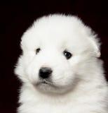Samoyed puppy. On dark background Royalty Free Stock Image