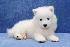 Samoyed puppy Royalty Free Stock Image