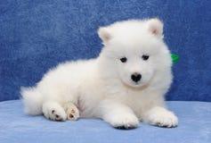 Samoyed puppy. White fluffy Samoyed (or Bjelkier) puppy Royalty Free Stock Image