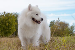 Samoyed puppy Royalty Free Stock Photography