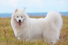 Samoyed puppy Stock Photos