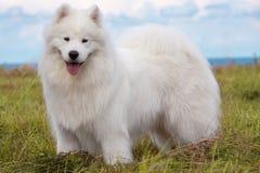 Samoyed puppy Stock Images