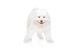 Samoyed puppy Royalty Free Stock Photography