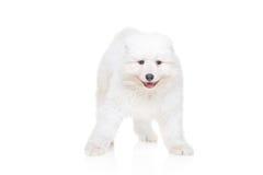 Samoyed puppy. On a white background Royalty Free Stock Photography