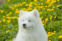 A fluffy white Samoyed dog on a background of green grass field Stock Images