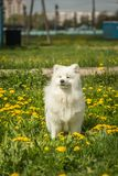 Samoyed puppy dog stands in a field with dandelions and green gr Stock Image