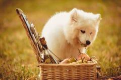 Samoyed puppy eating peach on brown plain near picnic basket Royalty Free Stock Photos