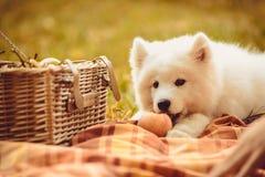 Samoyed puppy eating peach on brown plain near picnic basket Royalty Free Stock Image