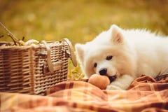 Samoyed puppy eating peach on brown plain near picnic basket Stock Photo