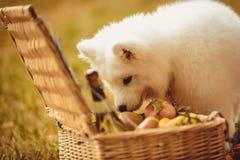 Samoyed Puppy Eating Peach On Brown Plain Near Picnic Basket Stock Photos