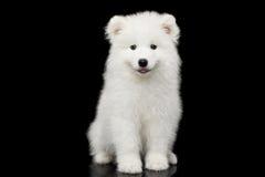 Samoyed Puppy isolated on Black background Royalty Free Stock Images