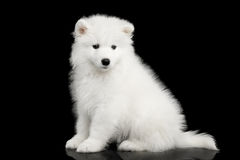 Samoyed Puppy isolated on Black background Royalty Free Stock Image