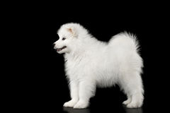Samoyed Puppy isolated on Black background Stock Image