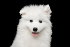 Samoyed Puppy isolated on Black background Stock Photography