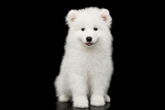 Free Samoyed Puppy Isolated On Black Background Royalty Free Stock Images - 92483109