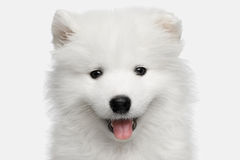 Samoyed Puppy isolated on White background Stock Image