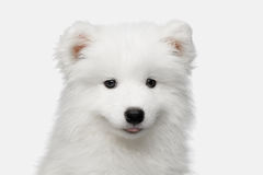 Samoyed Puppy isolated on White background Royalty Free Stock Photo
