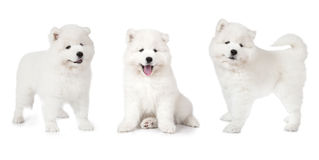 Samoyed puppy isolated on white Royalty Free Stock Photo